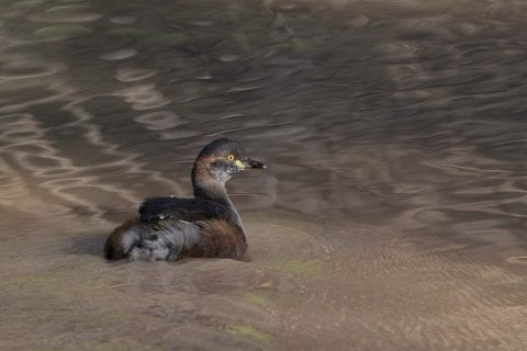 Grebes on the waterhole